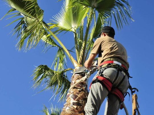 Palm Tree Trimming-Fort Collins Tree Trimming and Stump Grinding Services-We Offer Tree Trimming Services, Tree Removal, Tree Pruning, Tree Cutting, Residential and Commercial Tree Trimming Services, Storm Damage, Emergency Tree Removal, Land Clearing, Tree Companies, Tree Care Service, Stump Grinding, and we're the Best Tree Trimming Company Near You Guaranteed!